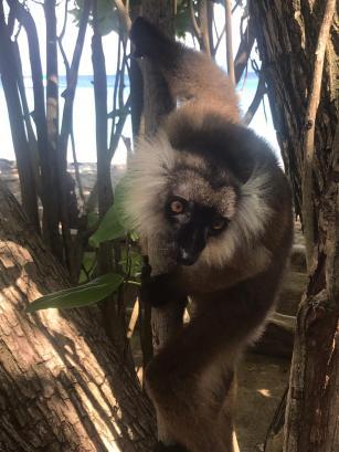 Lémur en Nosy Tanikely, Nosy Be, Madagascar (Chusa Cuendias 2018)